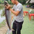 Heo ngọc tâm 4.600k r nha ae,cá trên 12kg đập nha ae tranh thủ vào chơi,cá ăn bú