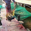 8h thực hiện thả 60kg cá lần 1.   Lần 2 lúc 11h thả tiếp 40kg cá lóc.  Tổng ngà