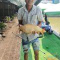 Vàng lên bờ Cá vẫn đang ăn rất đều và nhiều 12h thả thêm 45kg cho suất câu chiều