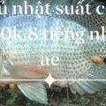 Thông báo ngày mai chủ nhật 21.03   Hồ cá lóc suất câu 200k 8 tiếng ( khuyến m