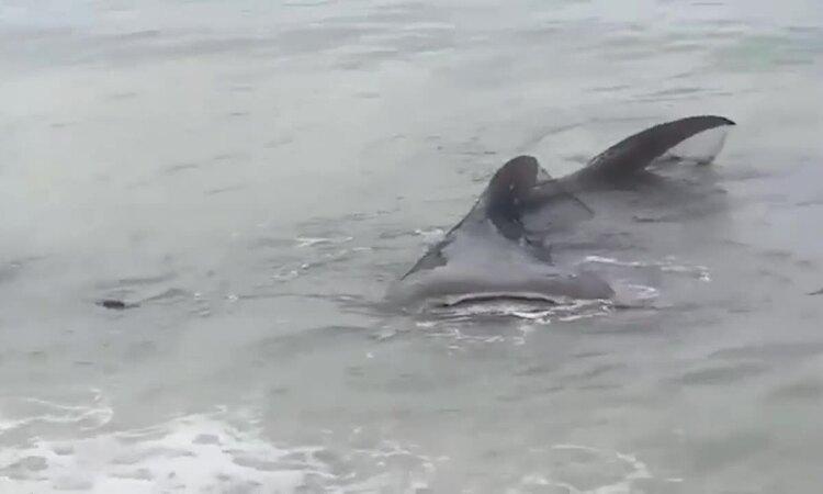 Cá mập voi mắc lưới bị sóng đánh dạt bờ