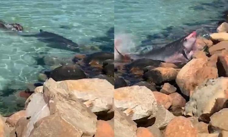 Cá nhà táng lùn đâm vào bãi đá vì hải cẩu tấn công