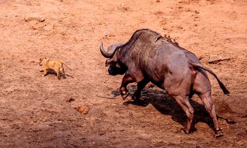 Trâu rừng giận dữ đuổi theo sư tử con. Ảnh: Johan Adolf Salman.