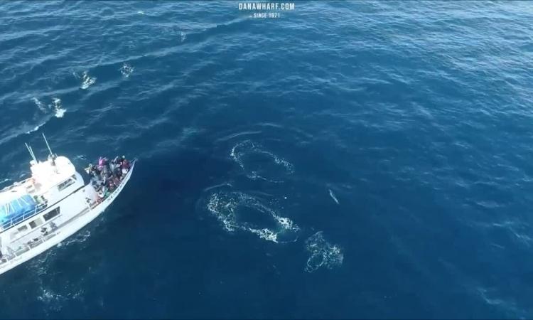 Đàn cá voi sát thủ truy đuổi cá heo gần tàu chở khách